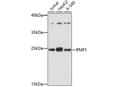 PMF1 Polyclonal Antibody