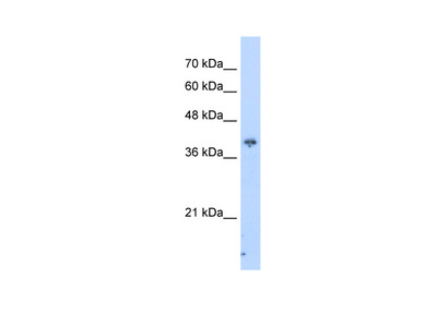 PIP3-E antibody - C-terminal region