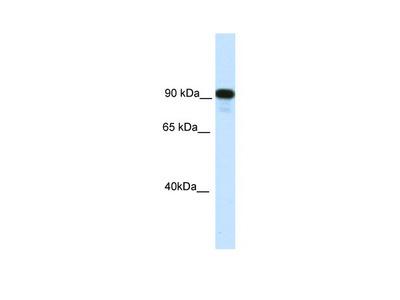 CIITA Antibody - C-terminal region