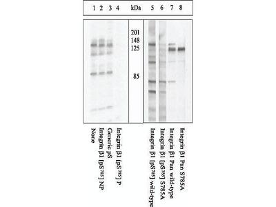 Anti-Integrin beta 1 / CD29 (phospho Ser785) antibody