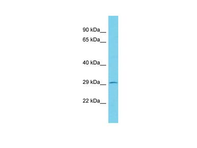KCTD2 Antibody - C-terminal region