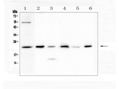 Anti-Doppel/PRND Antibody