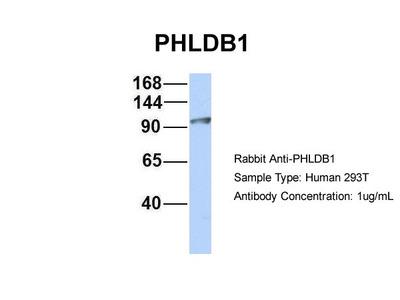 PHLDB1 antibody - middle region