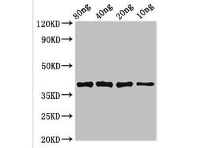 lexA Antibody
