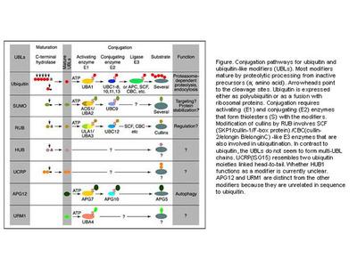 Rabbit Anti-p48 DDB2 Antibody