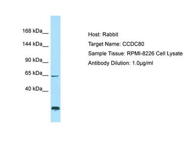 CCDC80 Antibody - C-terminal region