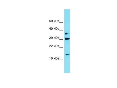 PQLC2L Antibody - N-terminal region
