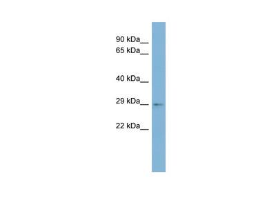 ARV1 antibody - middle region