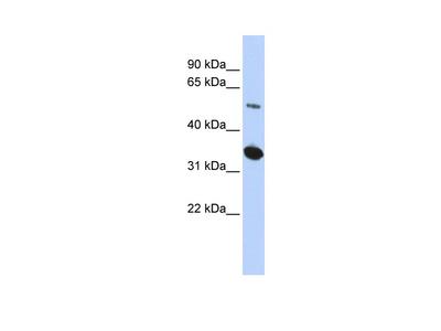 ABRAXAS2 Antibody - middle region