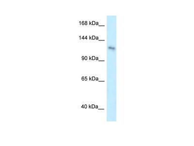 PLEKHA7 antibody - middle region