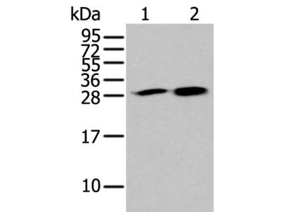 HDHD2 Antibody