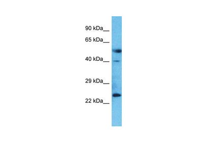 C20orf103 antibody - middle region