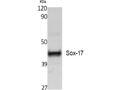 SOX-17 Polyclonal Antibody