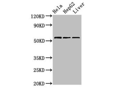 TOM1 Antibody