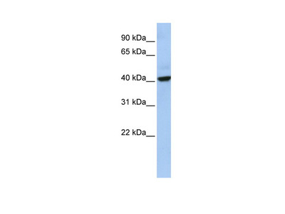 THAP5 antibody - middle region