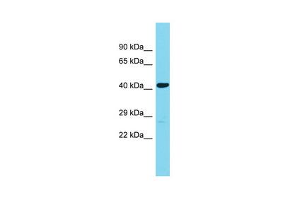 ABHD18 Antibody - N-terminal region