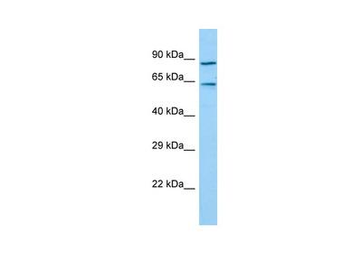 TIGD7 Antibody - C-terminal region