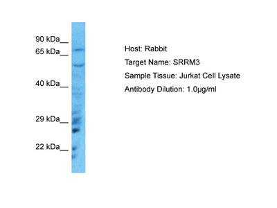 SRRM3 Antibody - C-terminal region