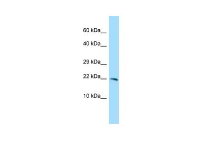 CXorf40A Antibody - C-terminal region