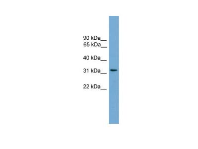 CCDC117 antibody - middle region
