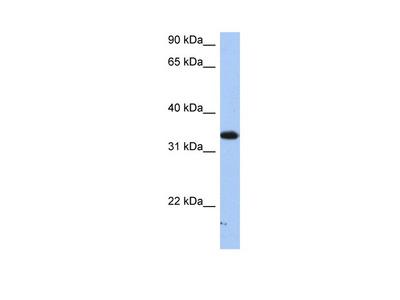 SULT6B1 antibody - C-terminal region