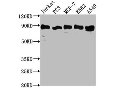 BRAT1 Antibody