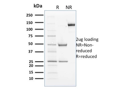 Cyclin B2 Antibody