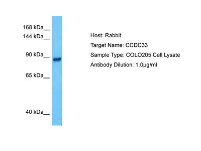 CCDC33 Antibody - middle region