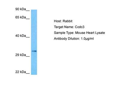 CCDC3 Antibody - middle region