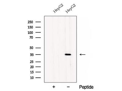 CWC15 Antibody