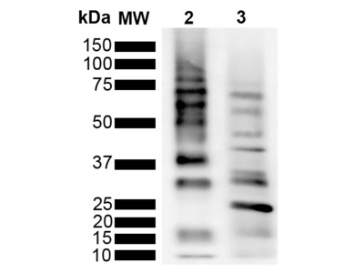 Rabbit Anti-Ubiquitin Antibody