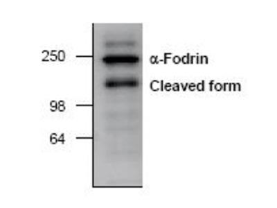 Anti-alpha Fodrin antibody