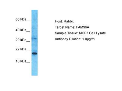 CIAO2A Antibody - C-terminal region