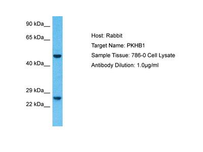 PLEKHB1 Antibody - N-terminal region