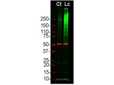 Anti-Ubiquitin antibody