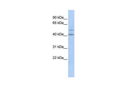 SPATC1 antibody - middle region