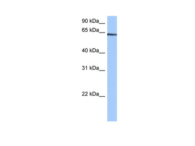 TTC6 antibody - C-terminal region