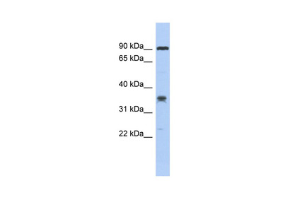 C6orf154 antibody - middle region
