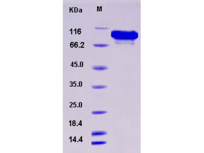 Recombinant Human ATF2 Protein (His & GST tag)