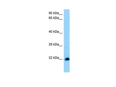 Rabbit Anti-4930572J05Rik Antibody