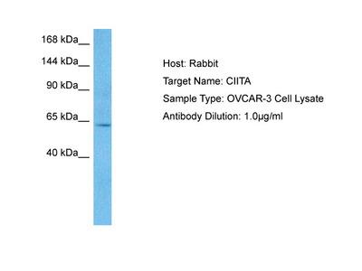 CIITA antibody - middle region