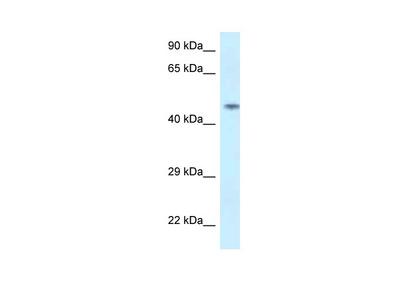 SPOCK2 antibody - N-terminal region