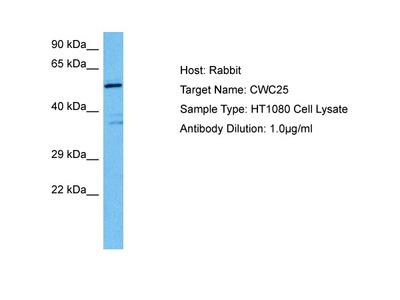 CWC25 Antibody - middle region
