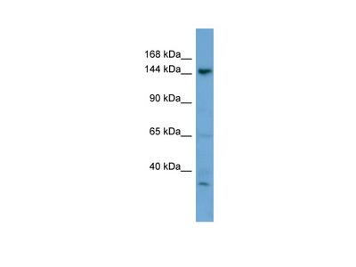 GNPTAB antibody - N-terminal region