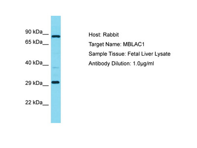 MBLAC1 Antibody - C-terminal region