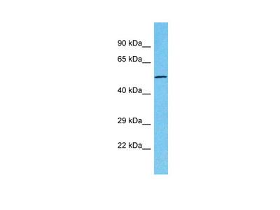 TTC39C Antibody - middle region