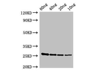 esxA Antibody
