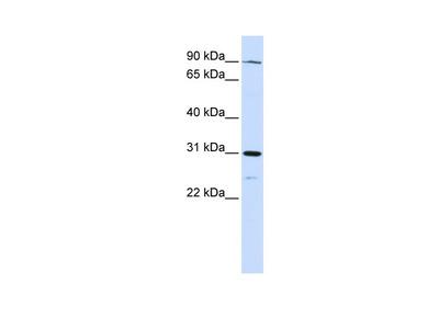LONRF3 antibody - N-terminal region