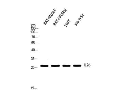 IL-26 Polyclonal Antibody
