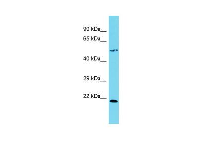 SLC35F4 Antibody - C-terminal region